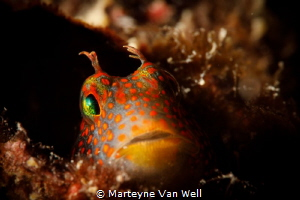 Orange-spotted blenny by Marteyne Van Well